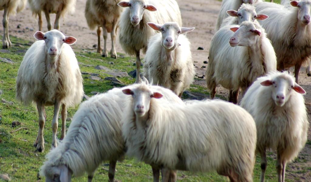 Animali da allevamento argav pagina 2 - La pagina della colorazione delle pecore smarrite ...