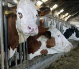 mucche in stalla
