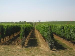 vigneto-viti-uva-da-vino-filari-IMG_5149-667x500-cs-