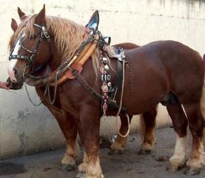 razza italiana cavallo TPR