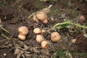 terreno patate