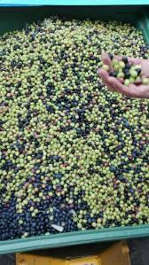olivevalnogaredo