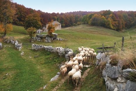 Pecore Brogna al pascolo in Lessinia